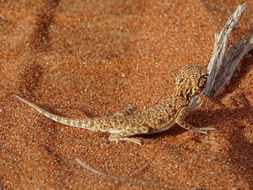 Image of Arabian Toadhead Agama