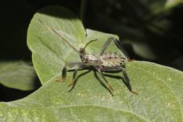 Image of <i>Acanthocephala terminalis</i> (Dallas 1852)