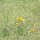 Image of California poppy