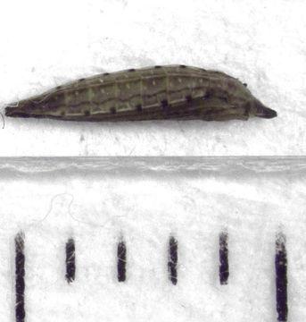 Image of convolvulus leafminer