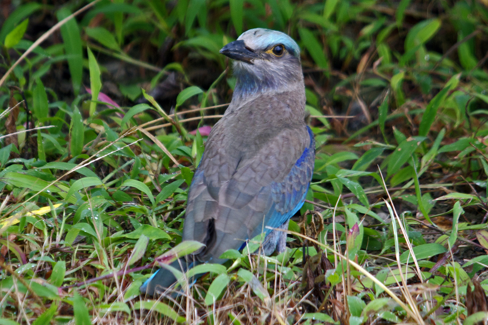 Image of Indian Roller