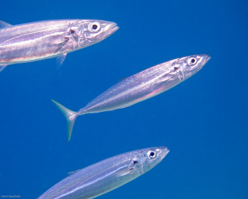 Image of Cigarfish