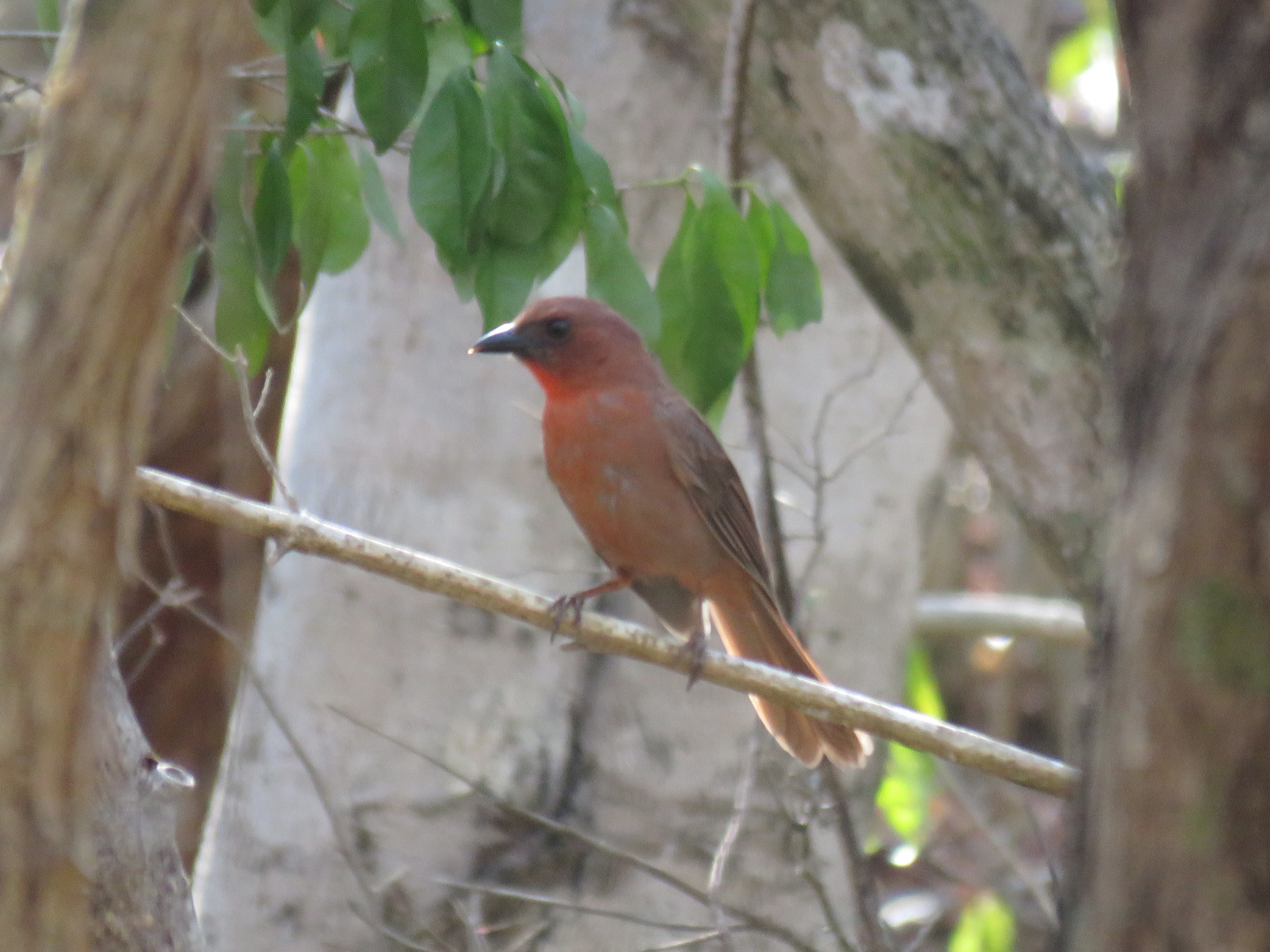 Image of Red-throated Ant-Tanager