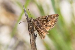 Image of Common Streaky-Skipper