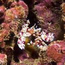 Image of Harlequin shrimp