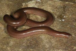 Image of Bibron's Blind Snake