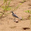 Image of Crocodile-bird