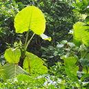 Image of <i>Xanthosoma undipes</i>
