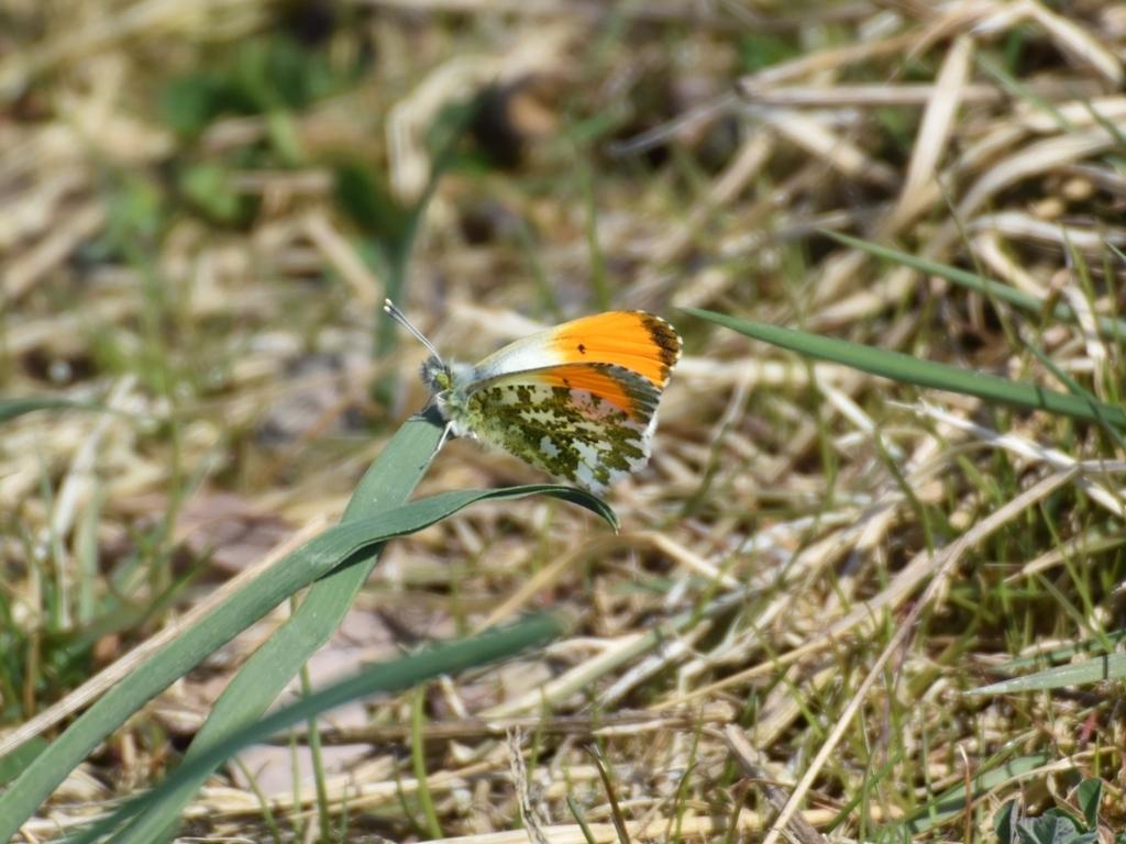 Image of orange tip