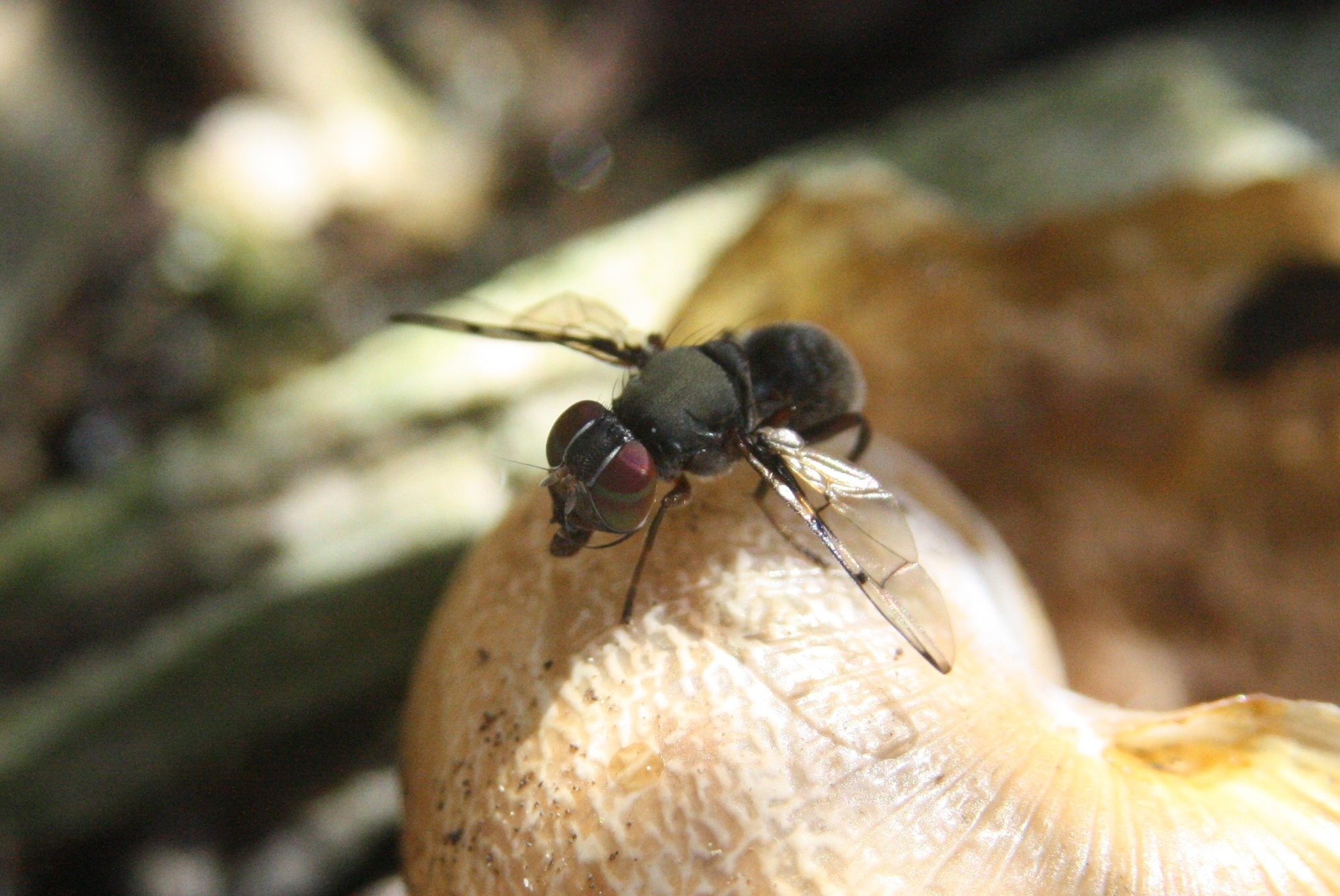 Image of Boatman Fly