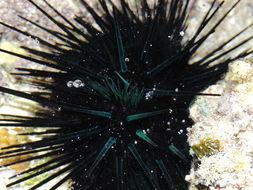 Image of Diadema urchin