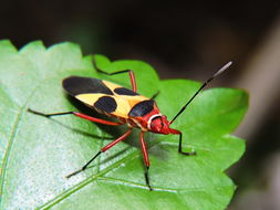 Image of Pale Red Bug