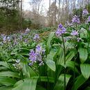 Image of <i>Scilla lilio-hyacinthus</i>