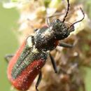 Image of Scarlet Malachite Beetle