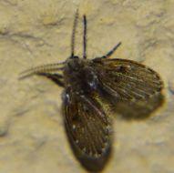Image of <i>Clogmia albipunctata</i>