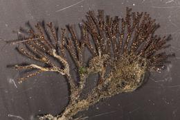 Image of Brown bryozoan