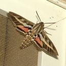 Image of striped hawk-moth