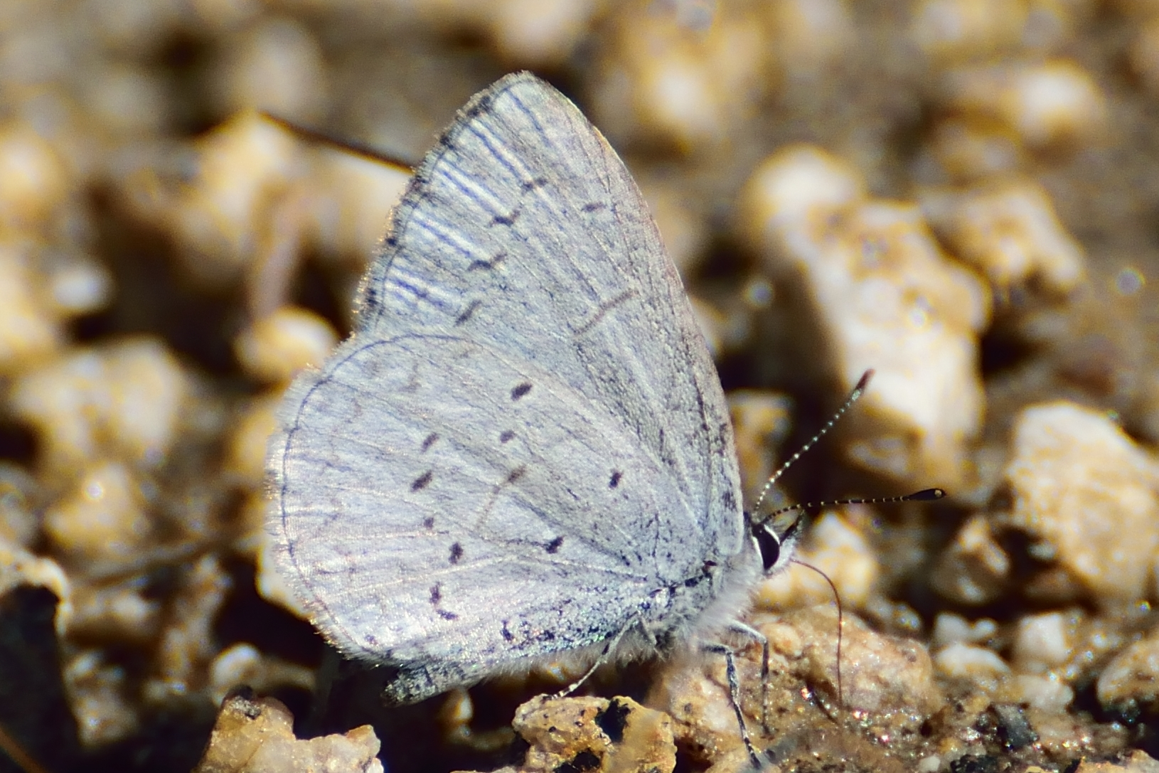 Image of <i>Celastrina echo</i>