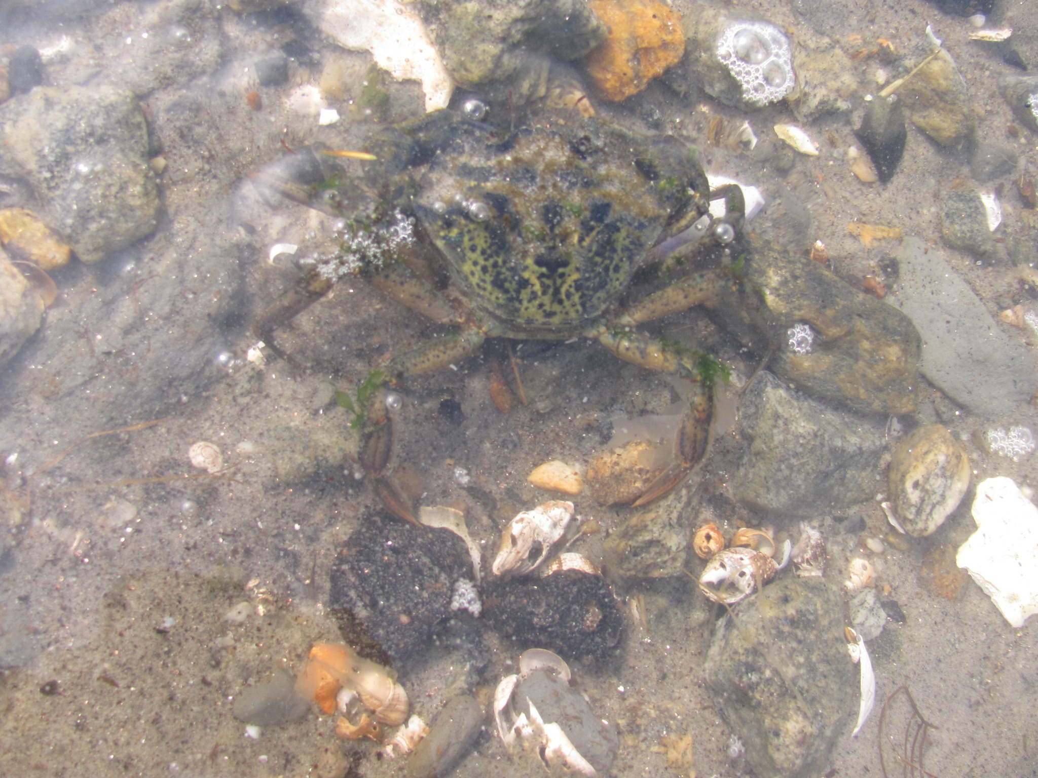 Image of Common shore crab