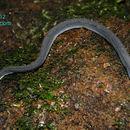 Image of Rough-backed Litter Snake