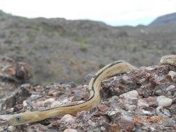 Image of Trans-pecos rat snake
