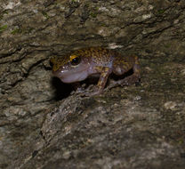 Image of Cliff Chirping Frog