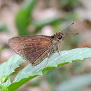 Image of <i>Eprius <i>veleda</i></i> ssp. veleda
