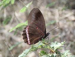Image of <i>Biblis hyperia aganisa</i>