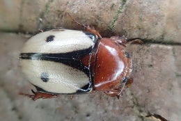 Image of <i>Cyclocephala paraflora</i> Martinez 1978