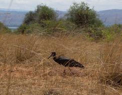 Image of Abdim's Stork