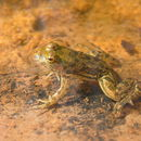 Image of Indian Skipper Frog