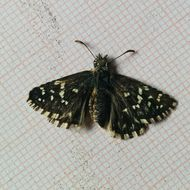 Image of Southern Grizzled Skipper