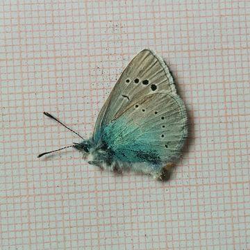 Image of Green-underside Blue