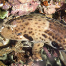 Image of Freycinet's Epaulette Shark
