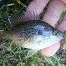 Image of Dollar Sunfish