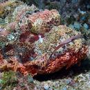 Image of Tassled scorpionfish