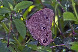 Image of <i>Melanitis leda</i> Linnaeus 1758