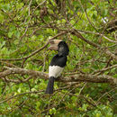 Image of Black-and-white-casqued Hornbill