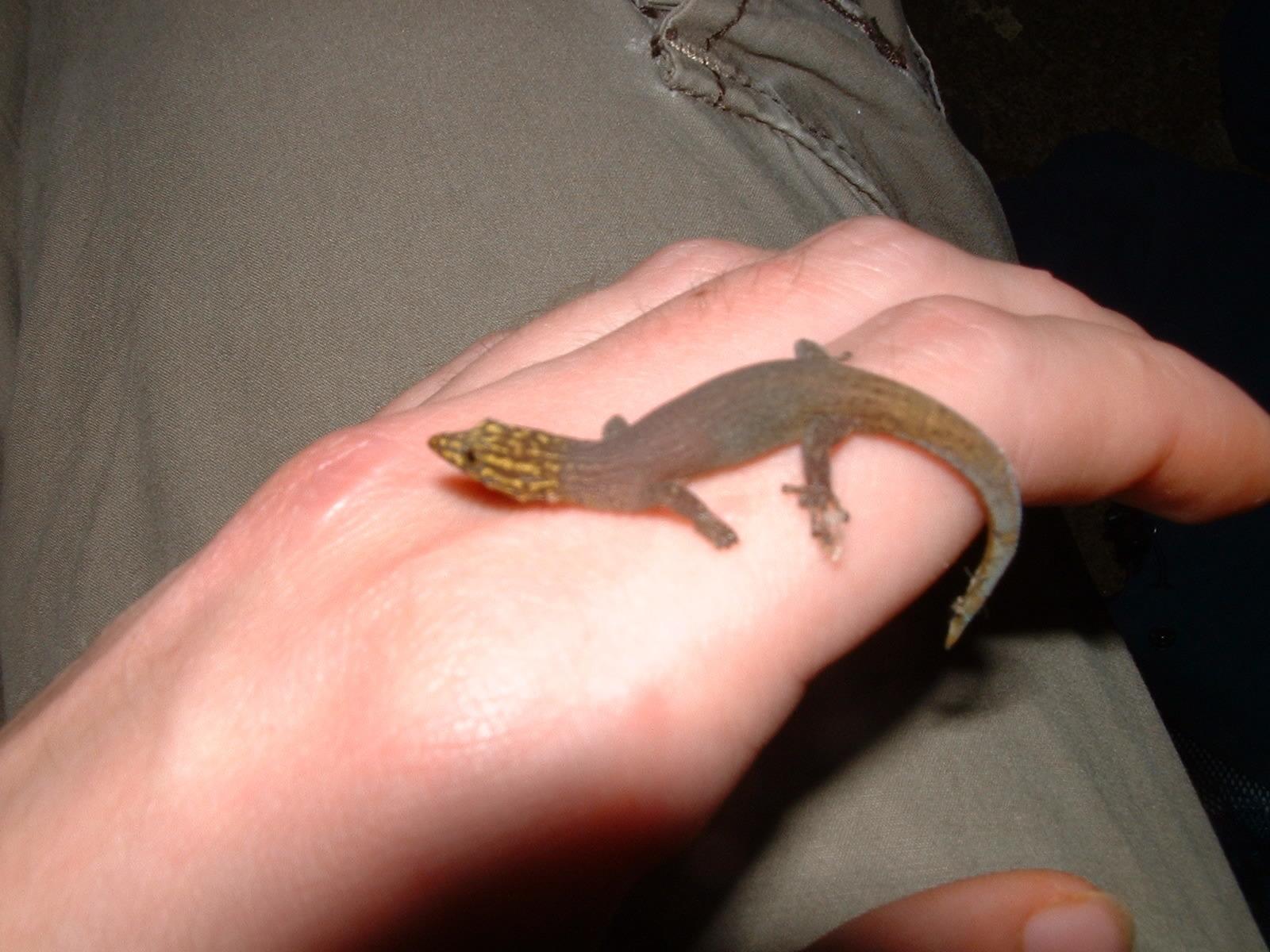Image of Caribbean Least Gecko