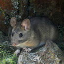 Image of Bushy-tailed Woodrat