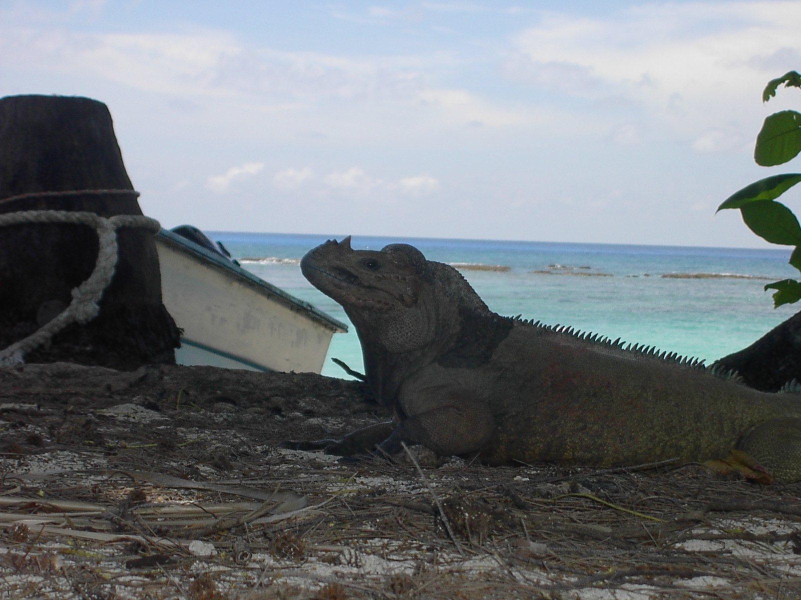 Image of Mona Island Iguana