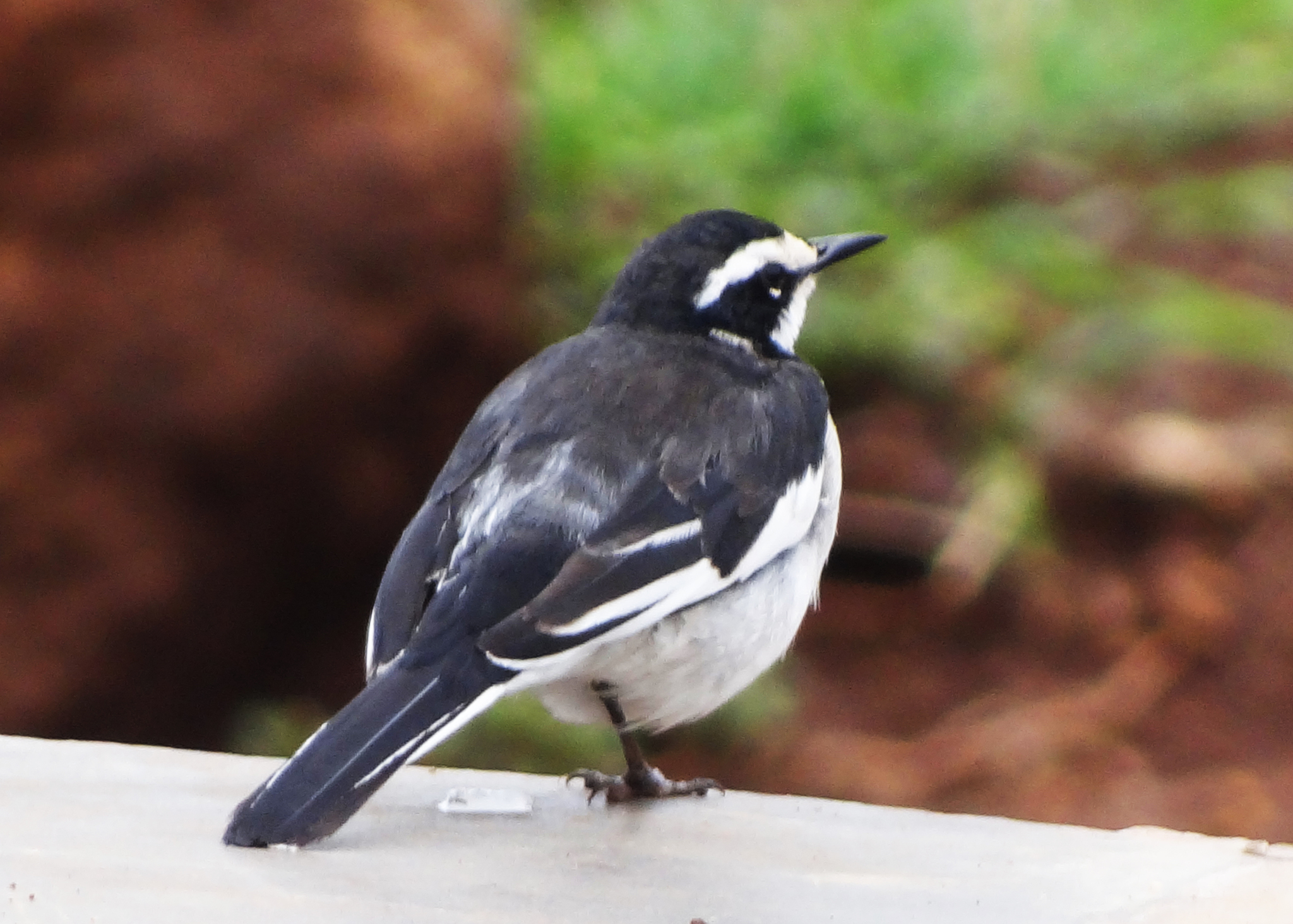 Image of African Pied Wagtail
