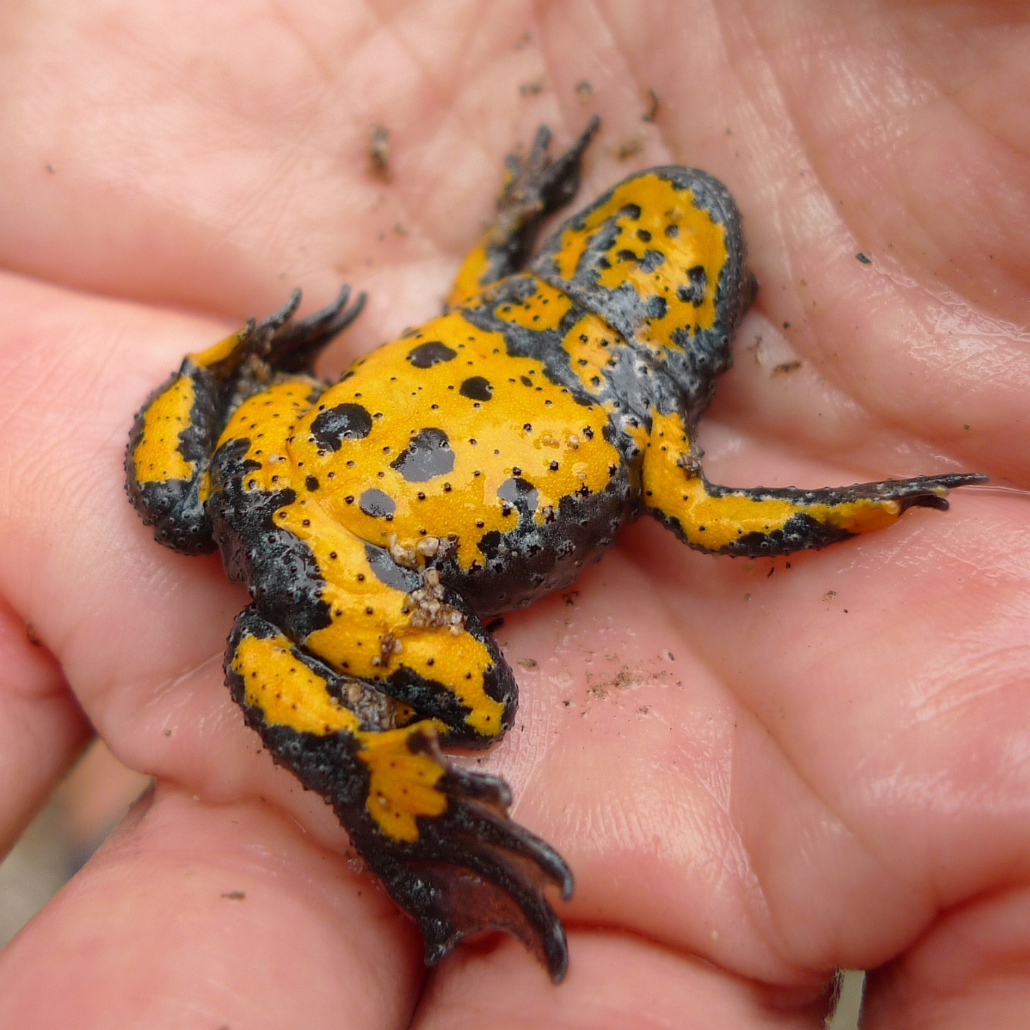 Image of Yellow-Bellied Toad