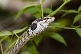 Image of Bird Snake