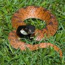 Image of Eastern Shield-nose Snake