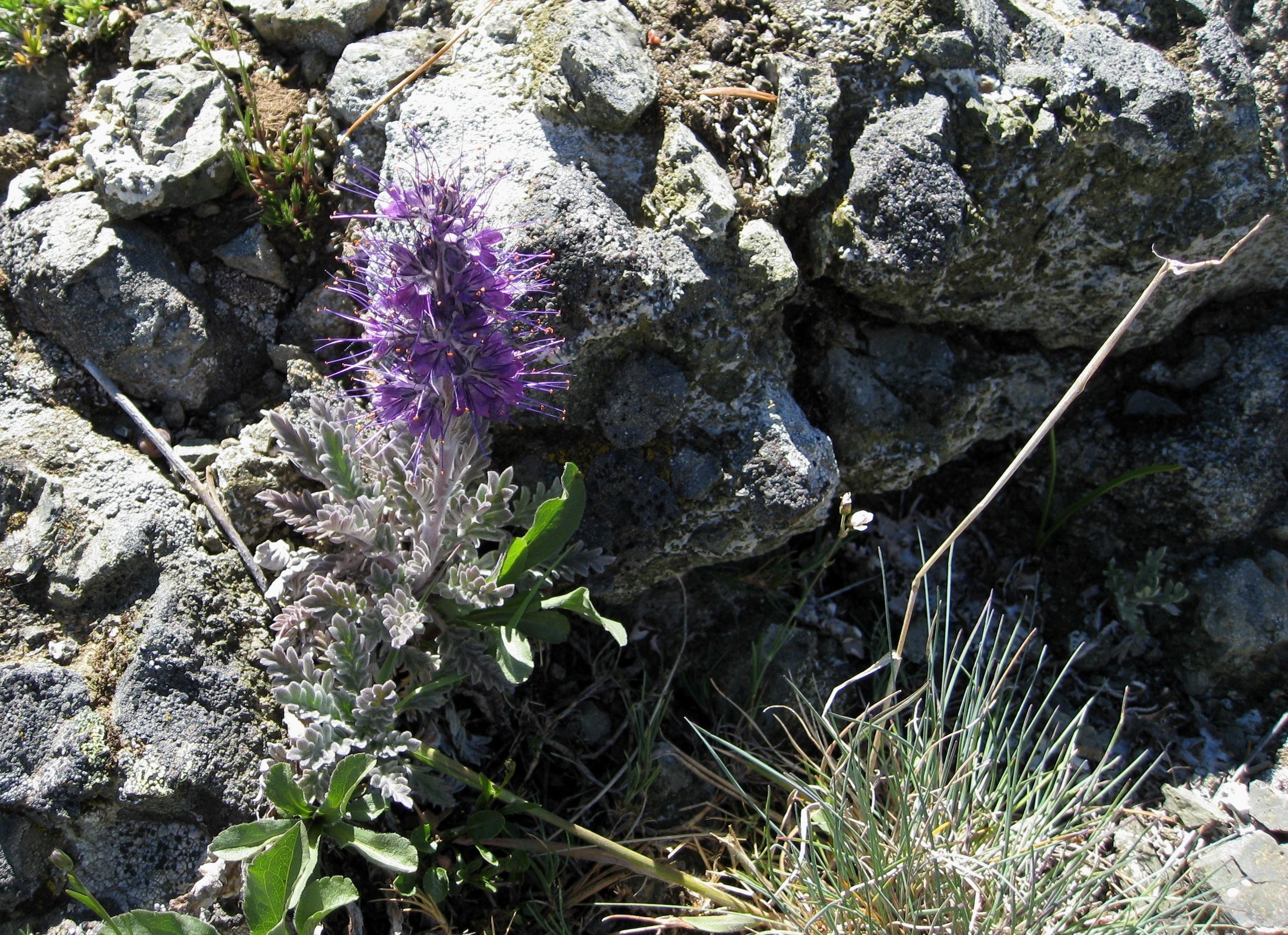 Image of <i>Phacelia sericea</i>