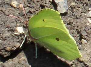 Image of <i>Gonepteryx rhamni</i> (Linnaeus 1758)
