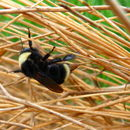 Image of California Bumble Bee