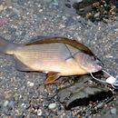 Image of striped seaperch