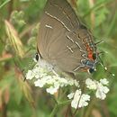 Image of Soapbery Hairstreak